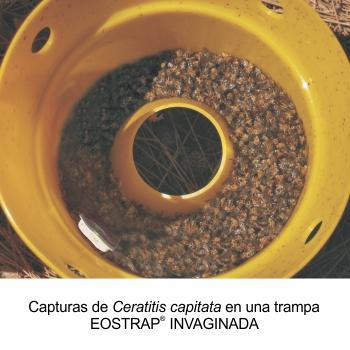 capturas-de-ceratitis-capitata1.jpg