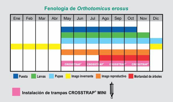 fenologia-de-orthotomicus-erosus1.jpg